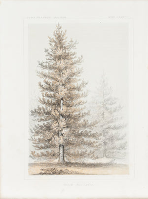 Pinus Contorta Tree Antique Botany Print 1857