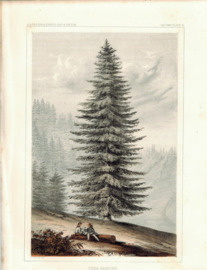 Pinus Grandies Tree Antique Botany Print 1857