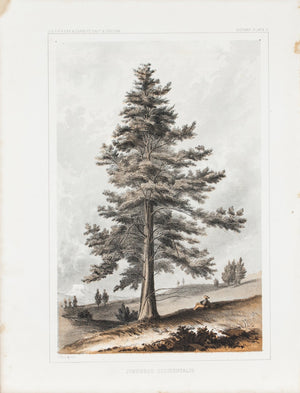 Juniperus Occidentalis Tree Antique Botany Print 1857