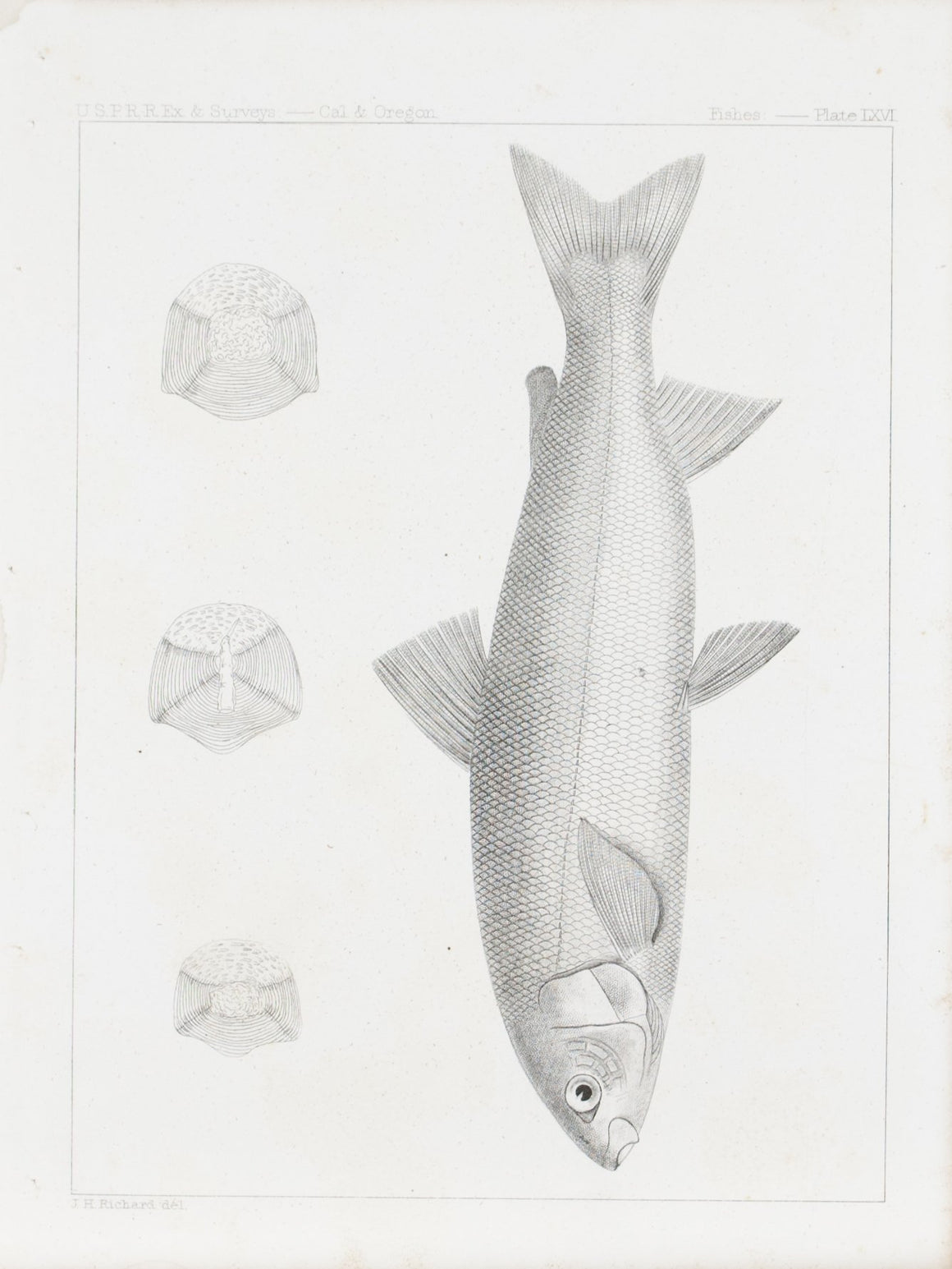 Coregonus Williamsoni Antique Fish Print 1857