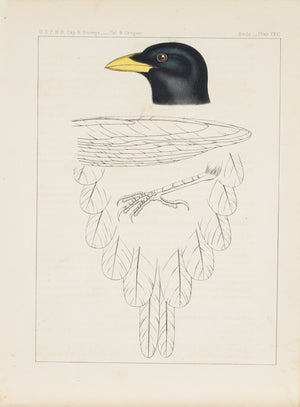 Yellow Billed Magpie Pica Nuttalli Antique Bird Print 1857