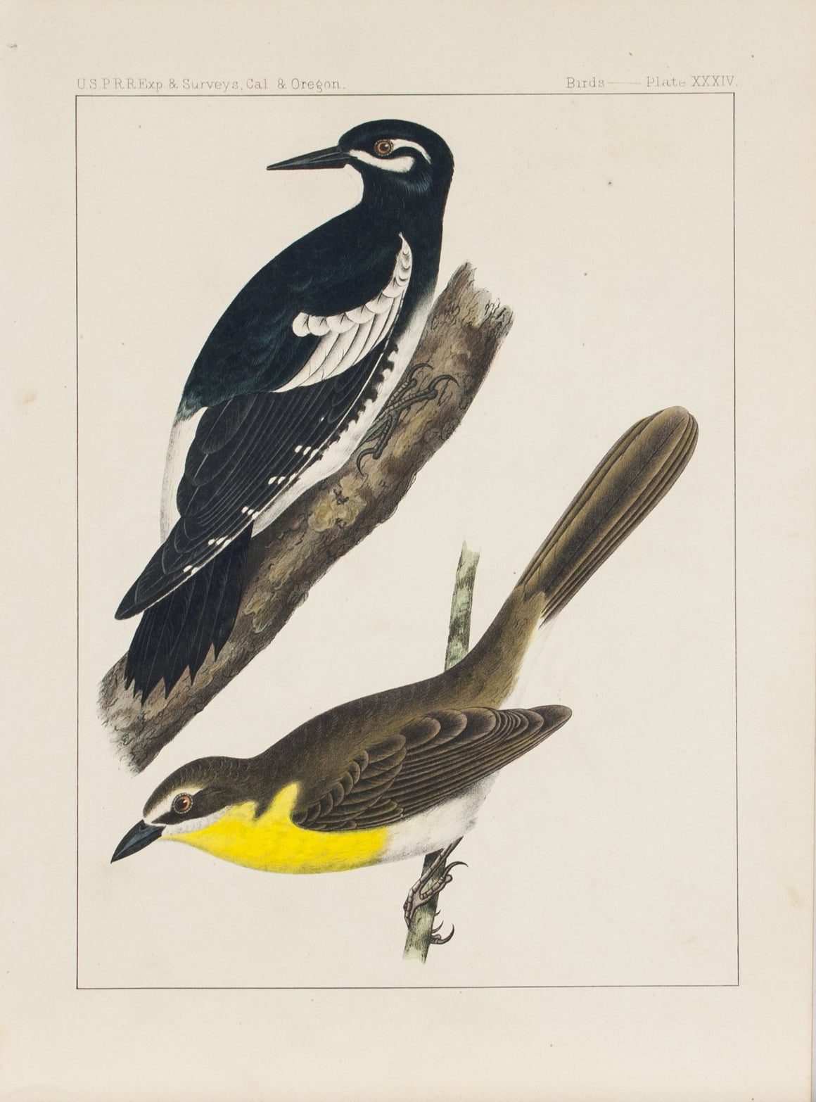 Yellow Breasted Chat Picus Williamsonii Icteria Longicauda Songbird Print 1857