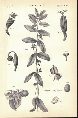 Tutsan Leaved Spurge Antique Botany Print 1877