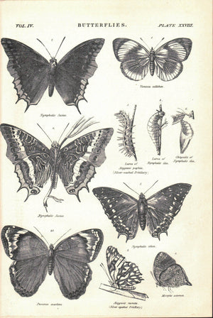 Nymphalis Jasius Butterfly Antique Entomology Print 1877