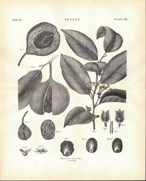 Myristica Moschata Nutmeg Antique Botany Print 1877