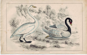 Swans Water Bird 1853 Antique Hand Color Engraved Print