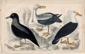 Sea Birds Water Duck Bird 1853 Antique Hand Color Engraved Print
