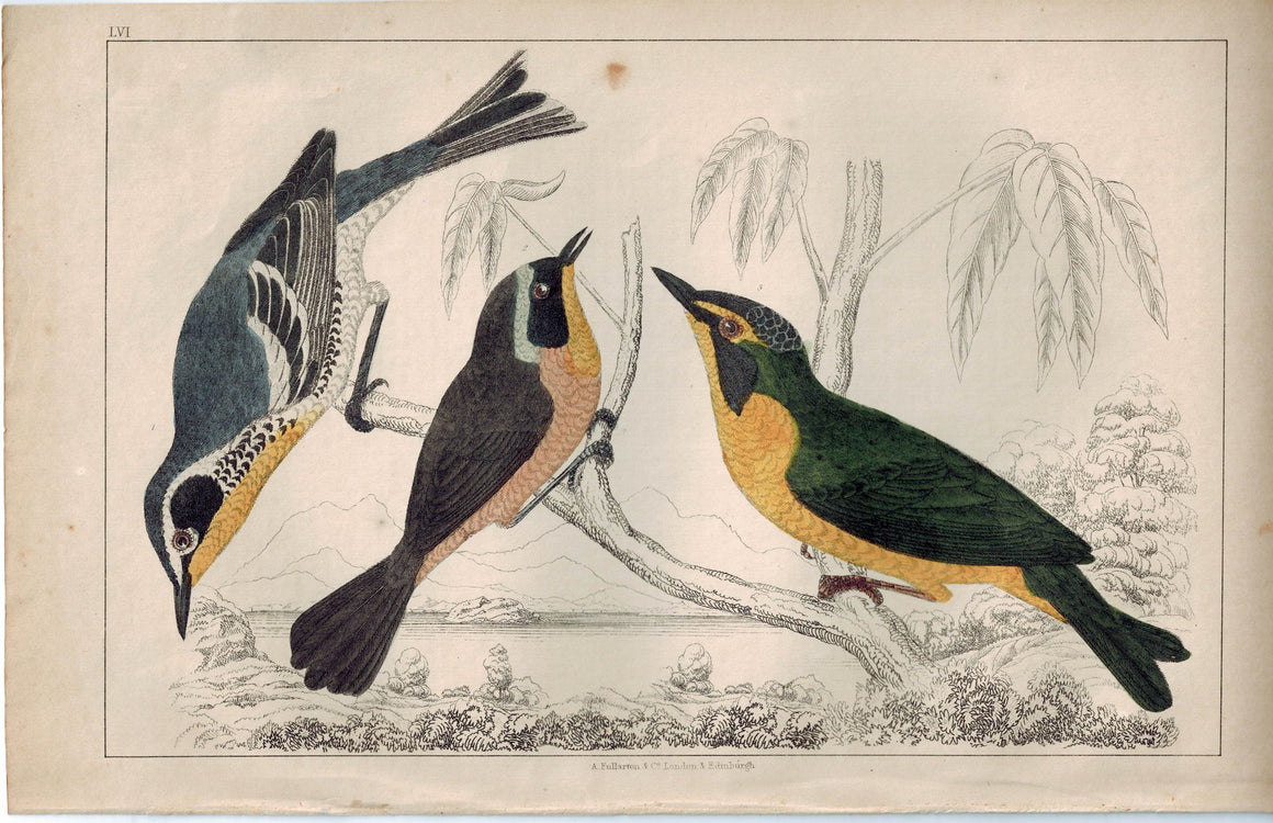 Yellow Throat Maryland & Kentucky Warbler Bird 1853 Antique Hand Color Print