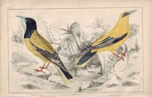 Black-Headed & Black-Cheeked Oriole Bird 1853 Antique Hand Color Print