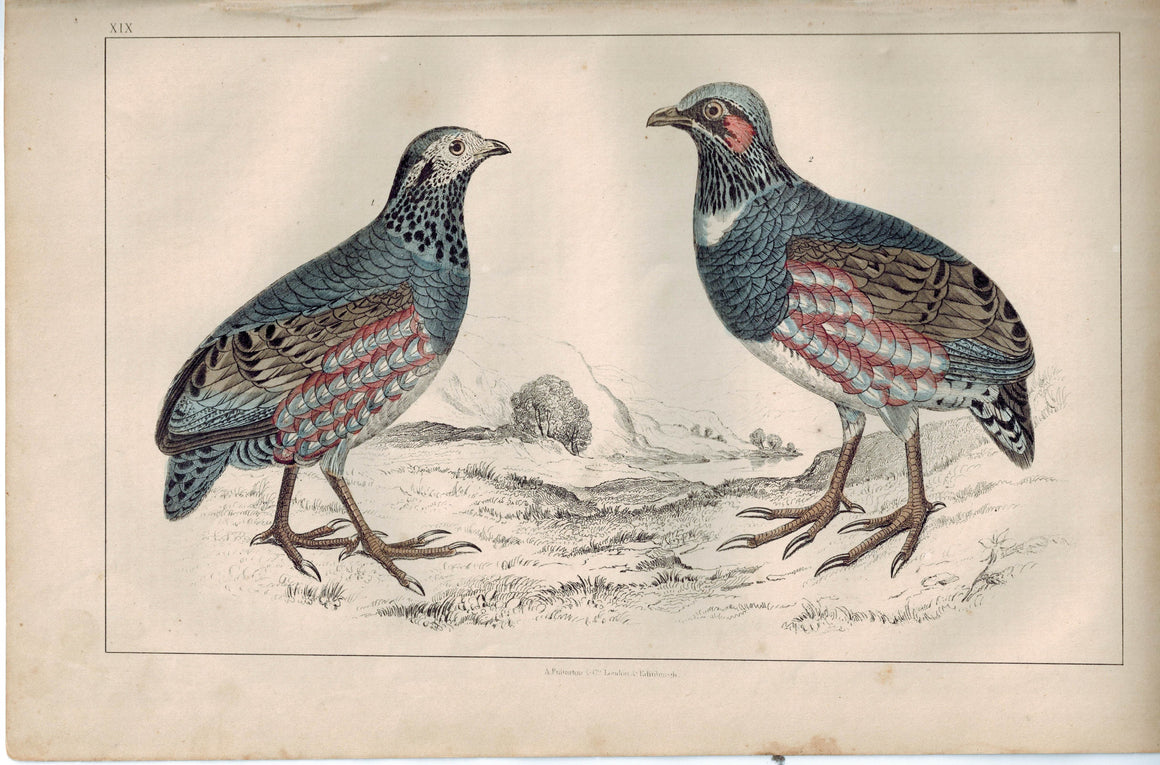 Large-Footed Partridge Female & Male Bird 1853 Antique Hand Color Print