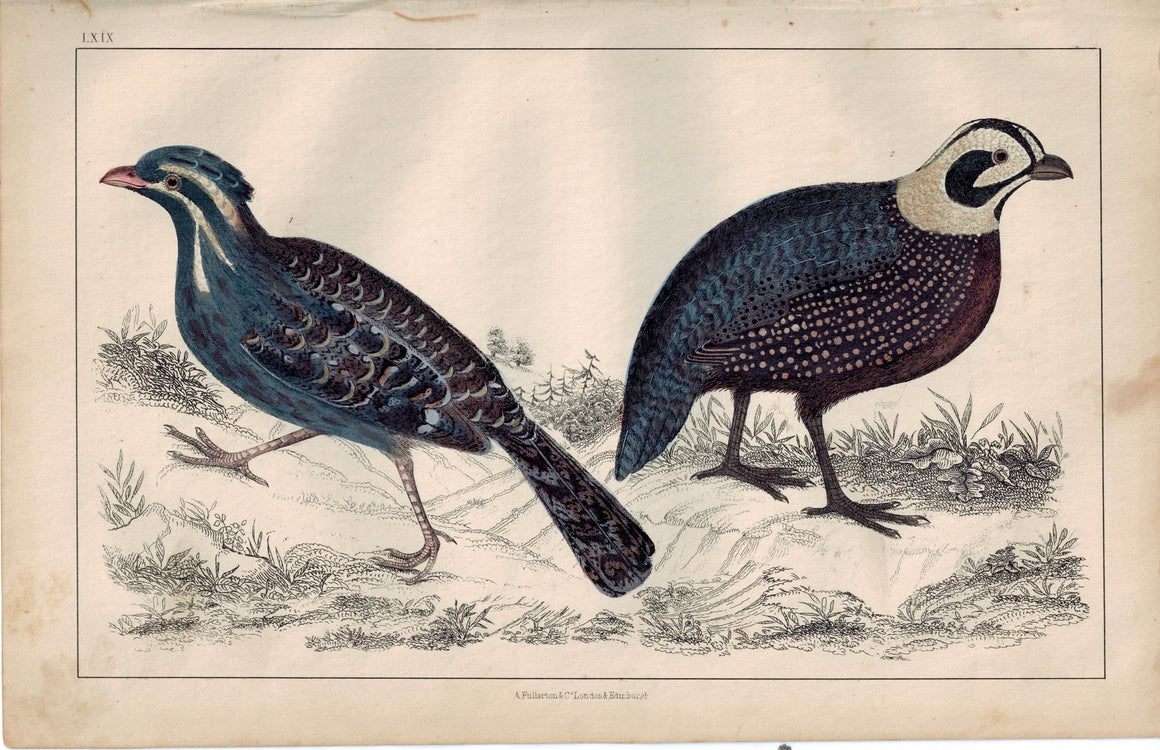 Long-Tailed & Montezuma's Quail Bird 1853 Antique Hand Color Print