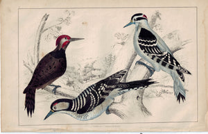Woodpecker Bird Family 1853 Antique Hand Color Engraved Print