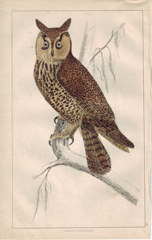 Long-Eared Owl Bird 1853 Antique Hand Color Engraved Print