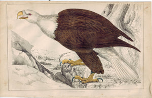 White-Headed Eagle Bird 1853 Antique Hand Color Engraved Print