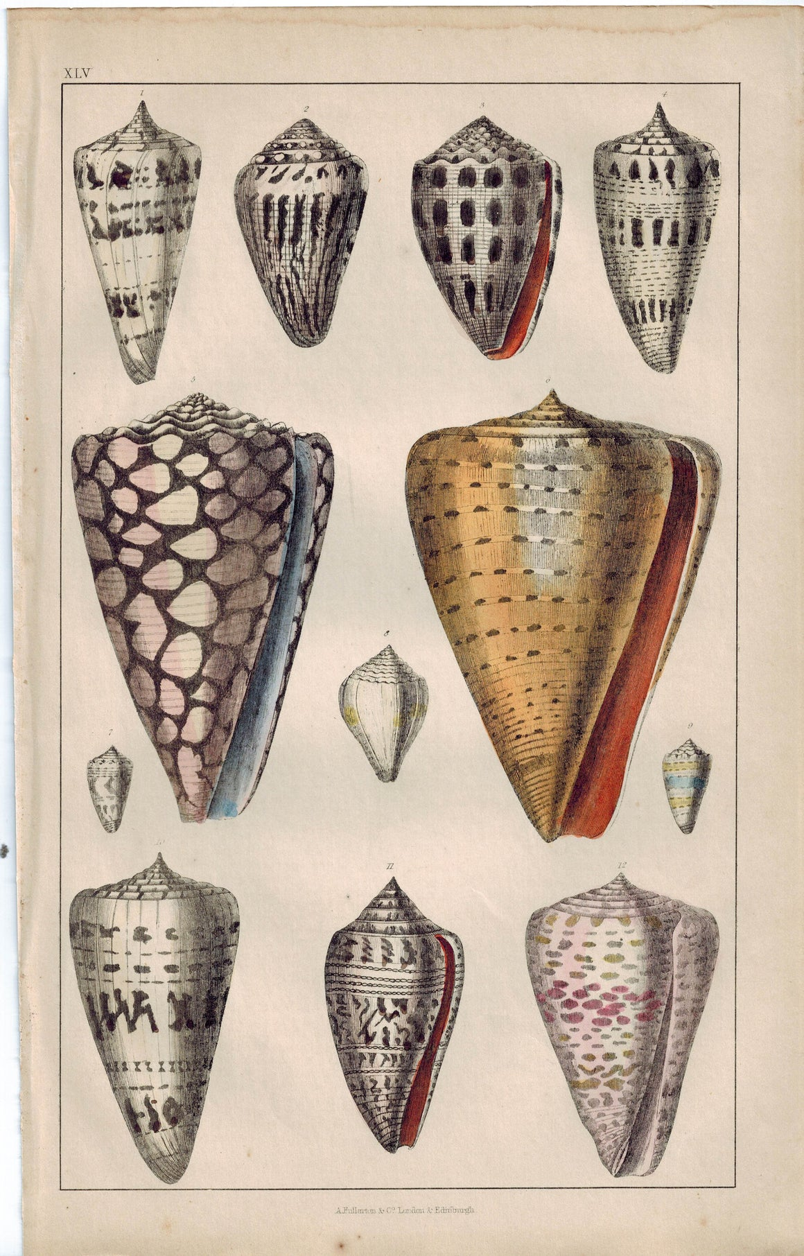 Seashell Bridle Cone Marbled Jasper 1853 Antique Hand Color Engraved Print