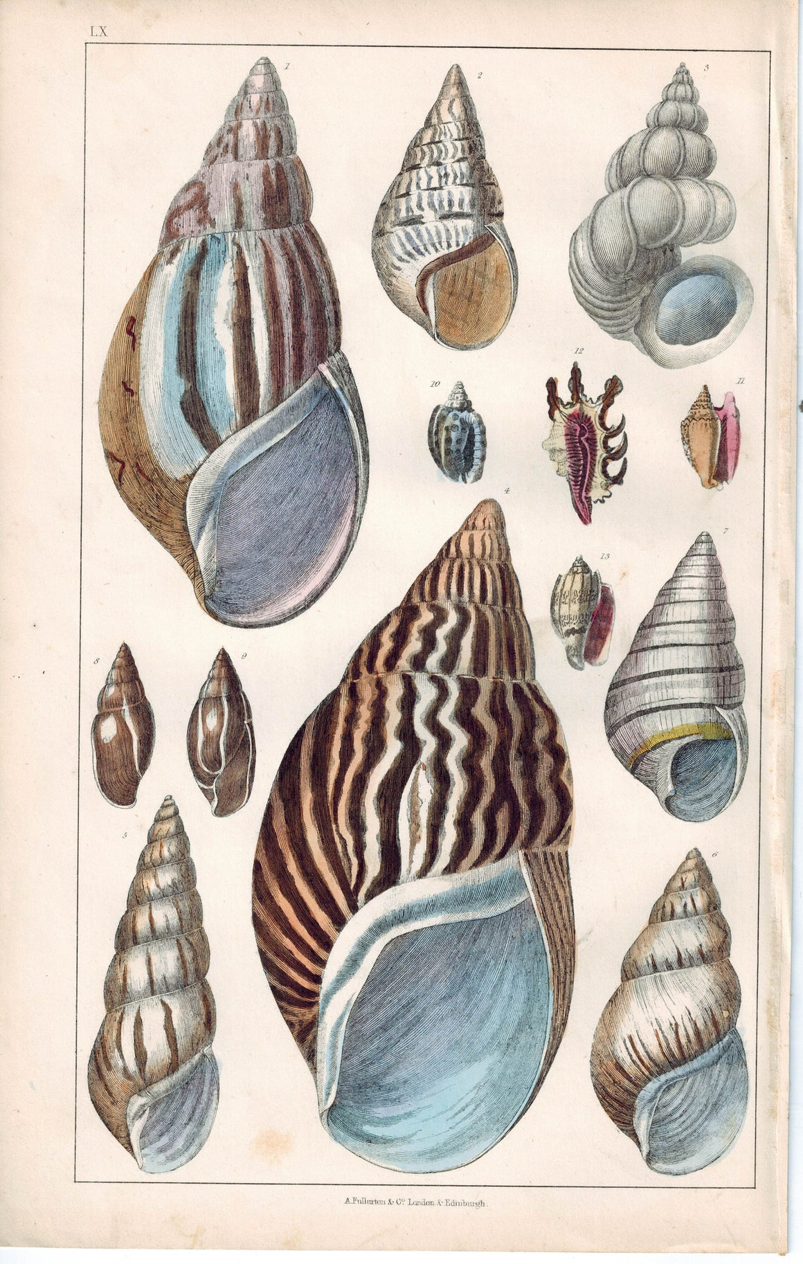 Seashell Zebra Agate Turbo Scalaris 1853 Antique Hand Color Engraved Print