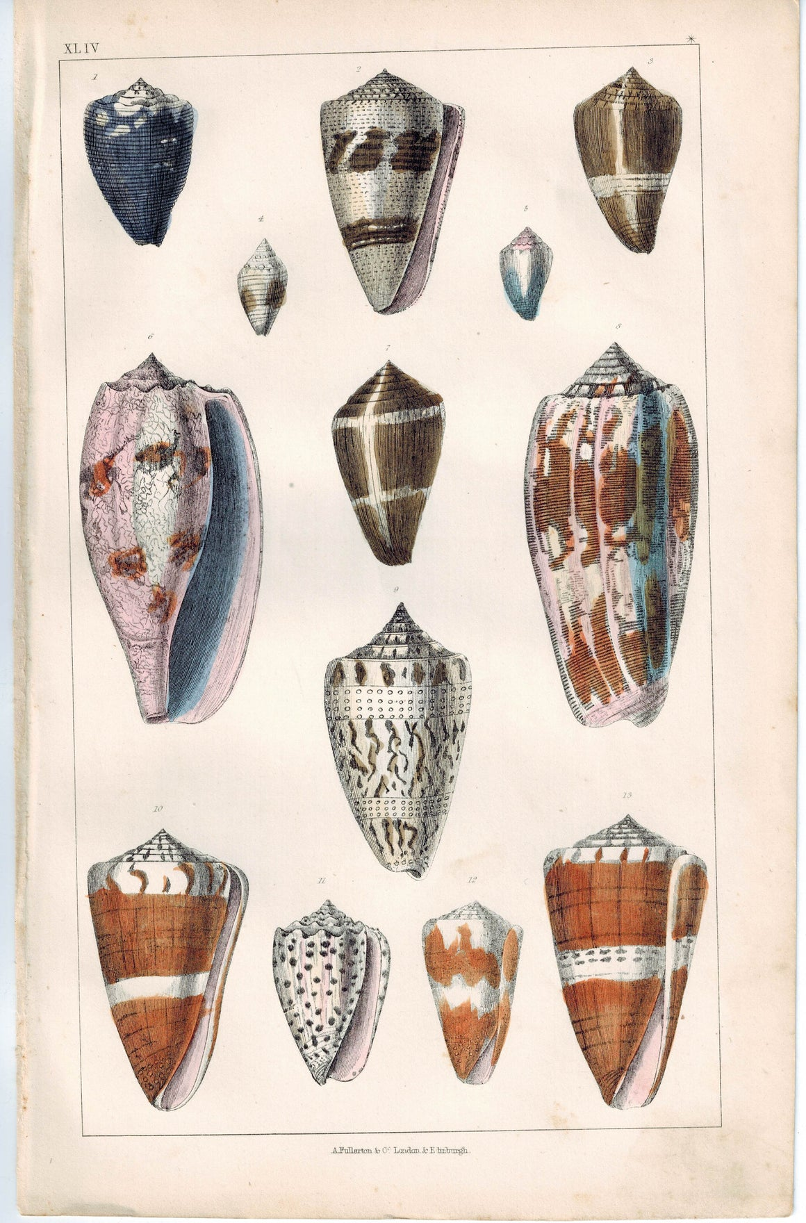 Seashell Cone Family 1853 Antique Hand Color Engraved Print