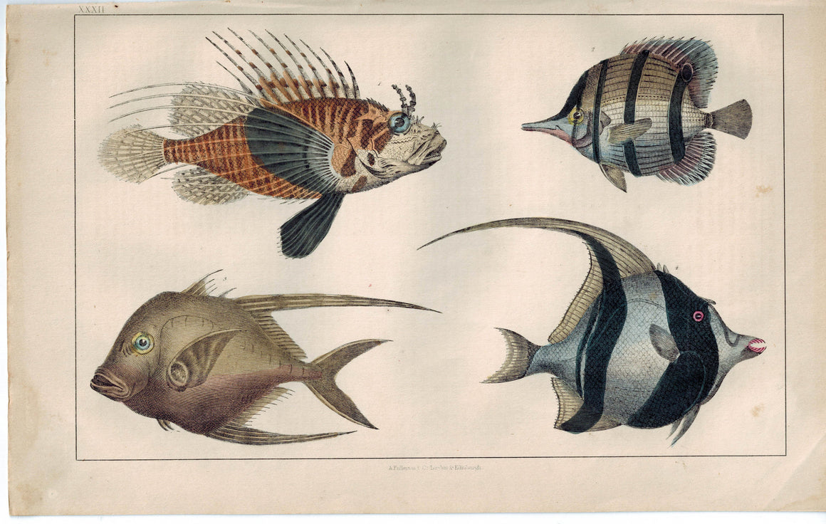 Exotic Fish Family Assortment  1853 Antique Hand Color Engraved Print