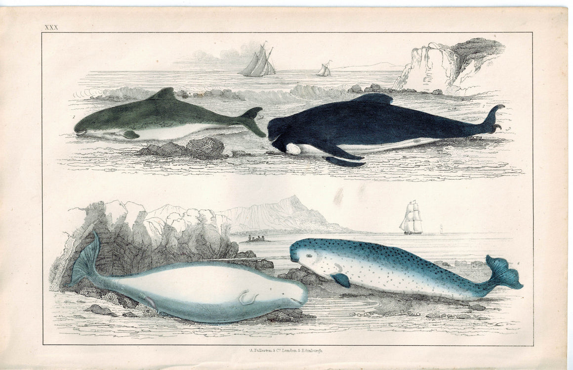 Common White & Narwhal Whale Sea Unicorn 1853 Antique Hand Color Print