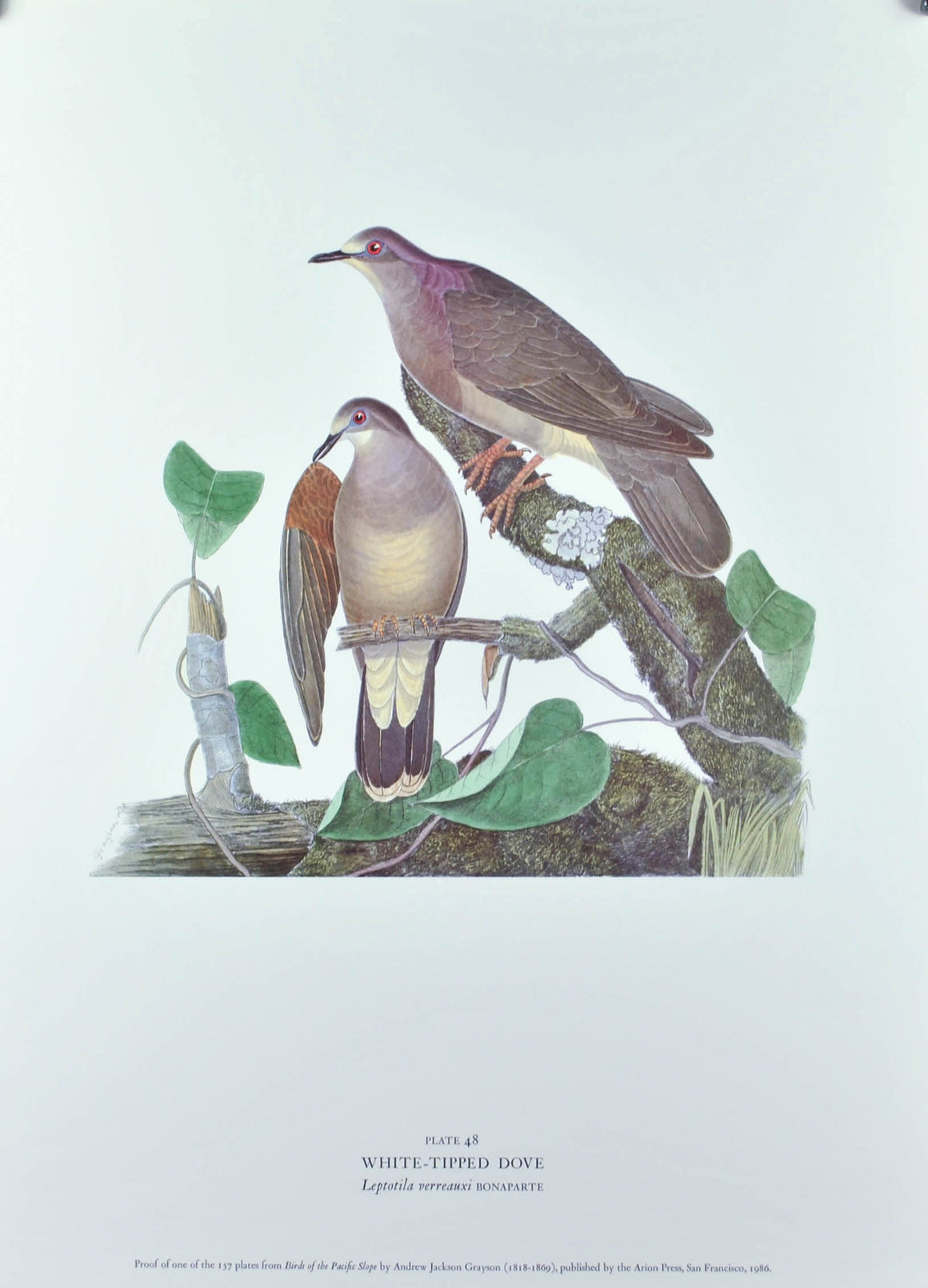 White-Tipped Dove Andrew Jackson Grayson Bird Print 1986 Birds of the Pacific