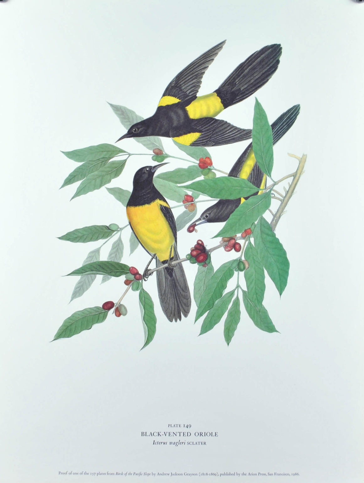 Black-Vented Oriole Andrew Jackson Grayson Bird Print 1986 Birds of the Pacific