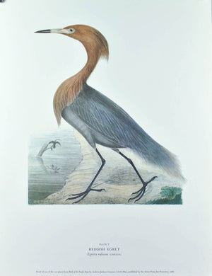 Reddish Egret Andrew Jackson Grayson Bird Print 1986 Birds of the Pacific