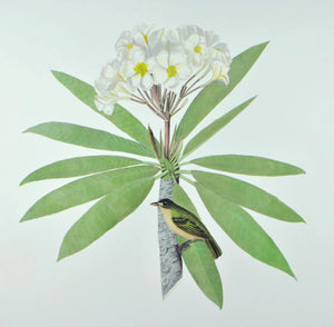 Black-Capped Vireo Andrew Jackson Grayson Bird Print 1986 Birds of the Pacific
