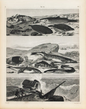 Sawfish Pike Perch Eel Trout Bass Antique Fish Print 1857