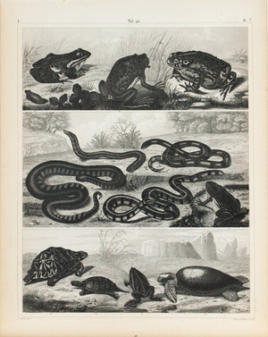 Toad Tree Frog Coral Snake Tortoise Turtle Antique Print 1857