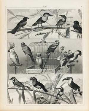 Cockatoo Parrot Toucan Antique Bird Print 1857