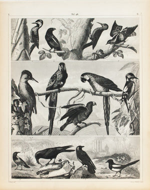 Macaw Woodpecker Raven Crow Parrot Antique Bird Print 1857