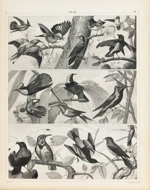 Nutcracker Paradise humming Lark Baltimore Oriole Antique Bird Print 1857