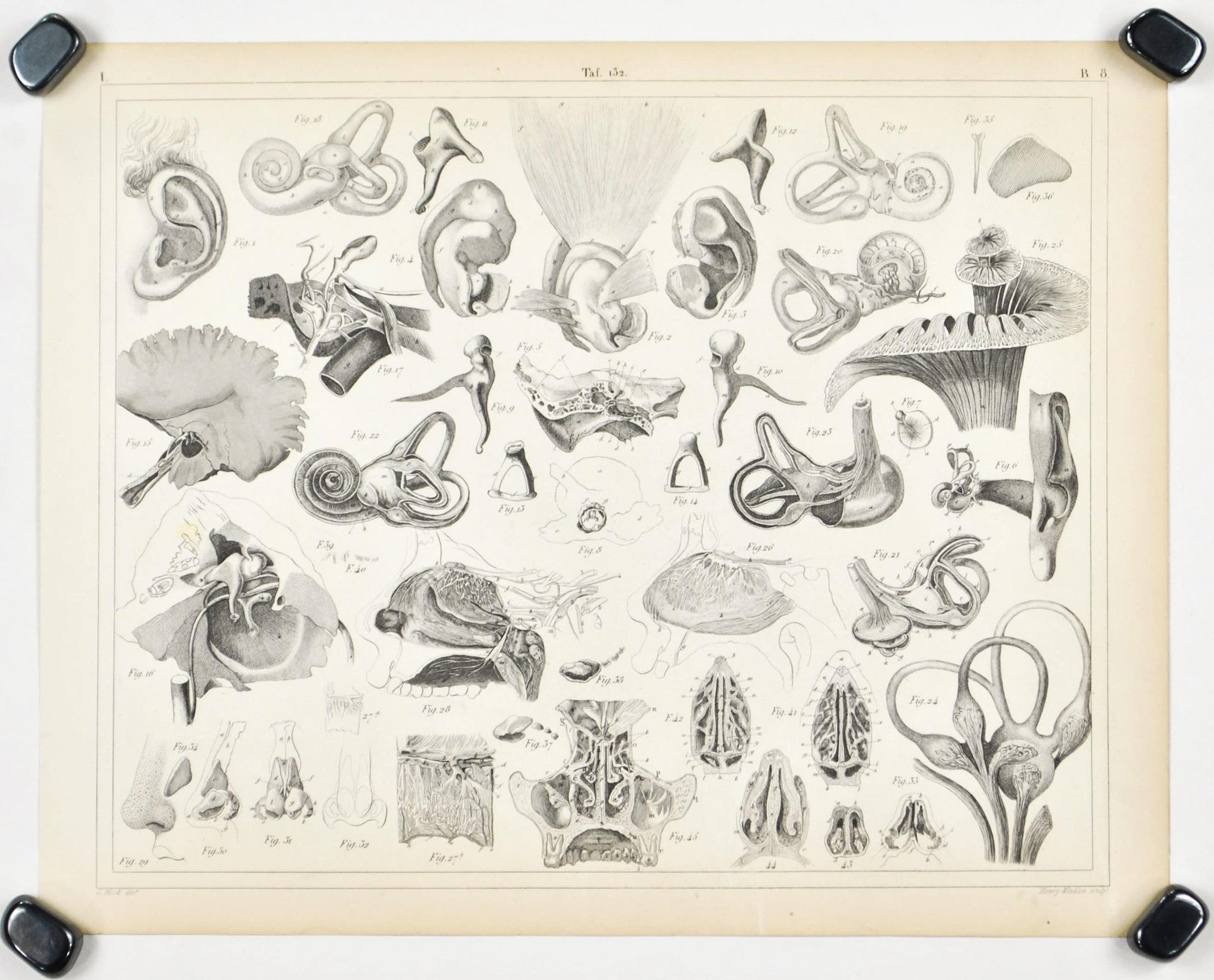 Human Ear Nose Antique Anatomy Print 1857 - Historic Accents