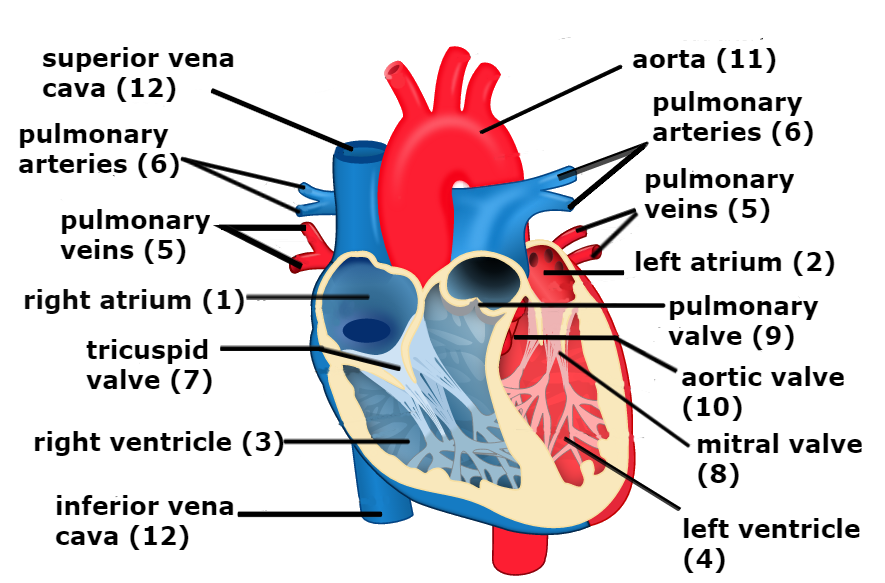 What is tetralogy of fallot save the heartbeat heart diagram congenital heart disease chd tetralogy of fallot ccuart Choice Image