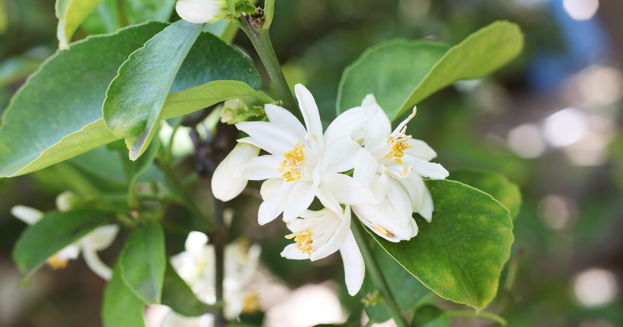 orange blossom benefits