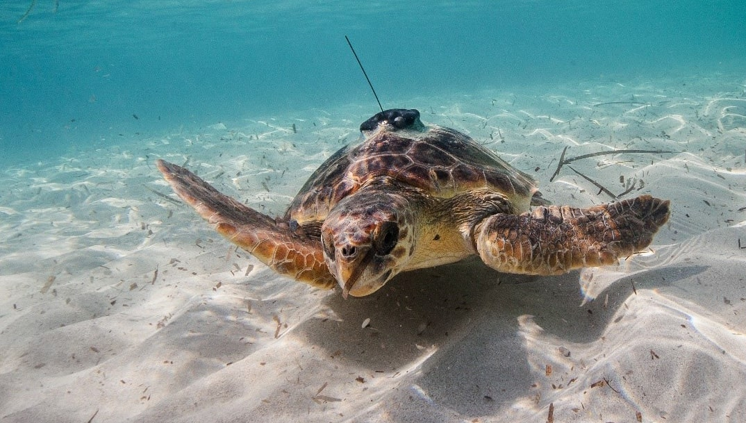 turtle swimming in the ocean with tracker on its back
