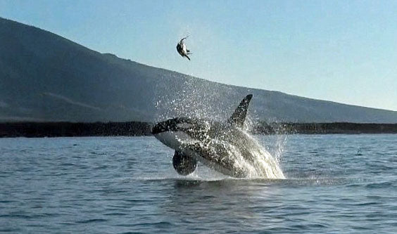 killer whale with endangered sea turtle in the air