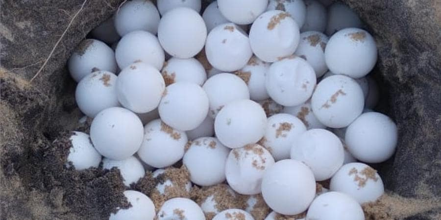 endangered sea turtle eggs in their nesting ground