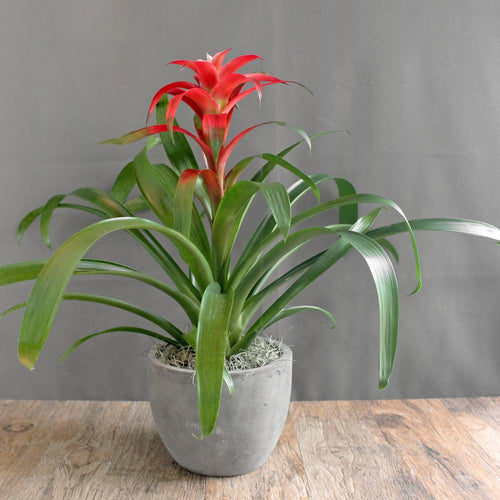 Bromeliad - The Blooming Idea Florst - The Woodlands, Texas