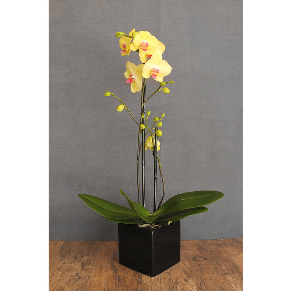 Novelty Double Stem Orchid - The Blooming Idea Florst - The Woodlands, Texas