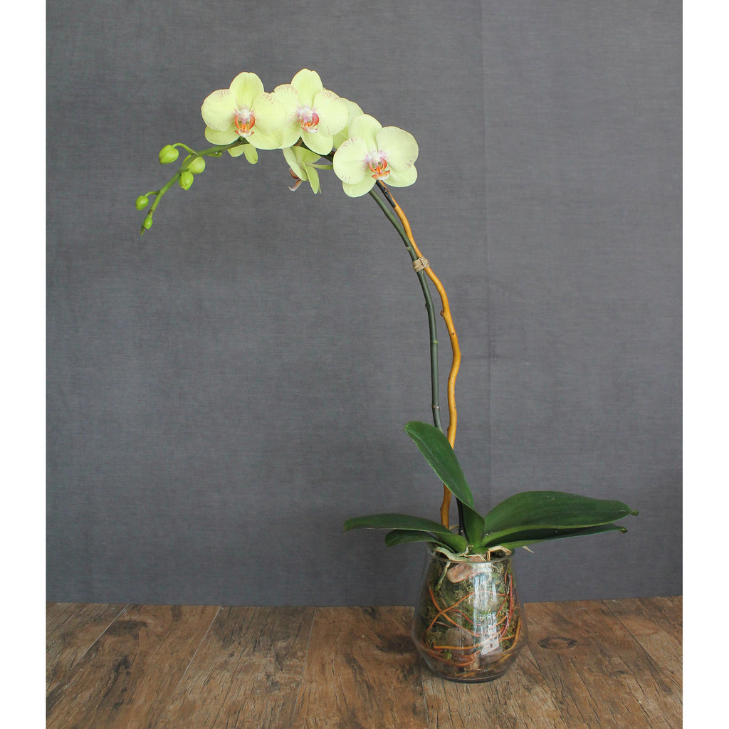 Premium Single Stem Orchid - The Blooming Idea Florst - The Woodlands, Texas