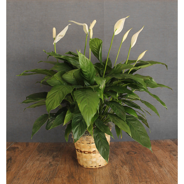 Peace Lily - The Blooming Idea Florst - The Woodlands, Texas