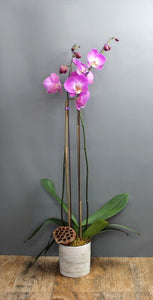 Orchid Plant Subscription