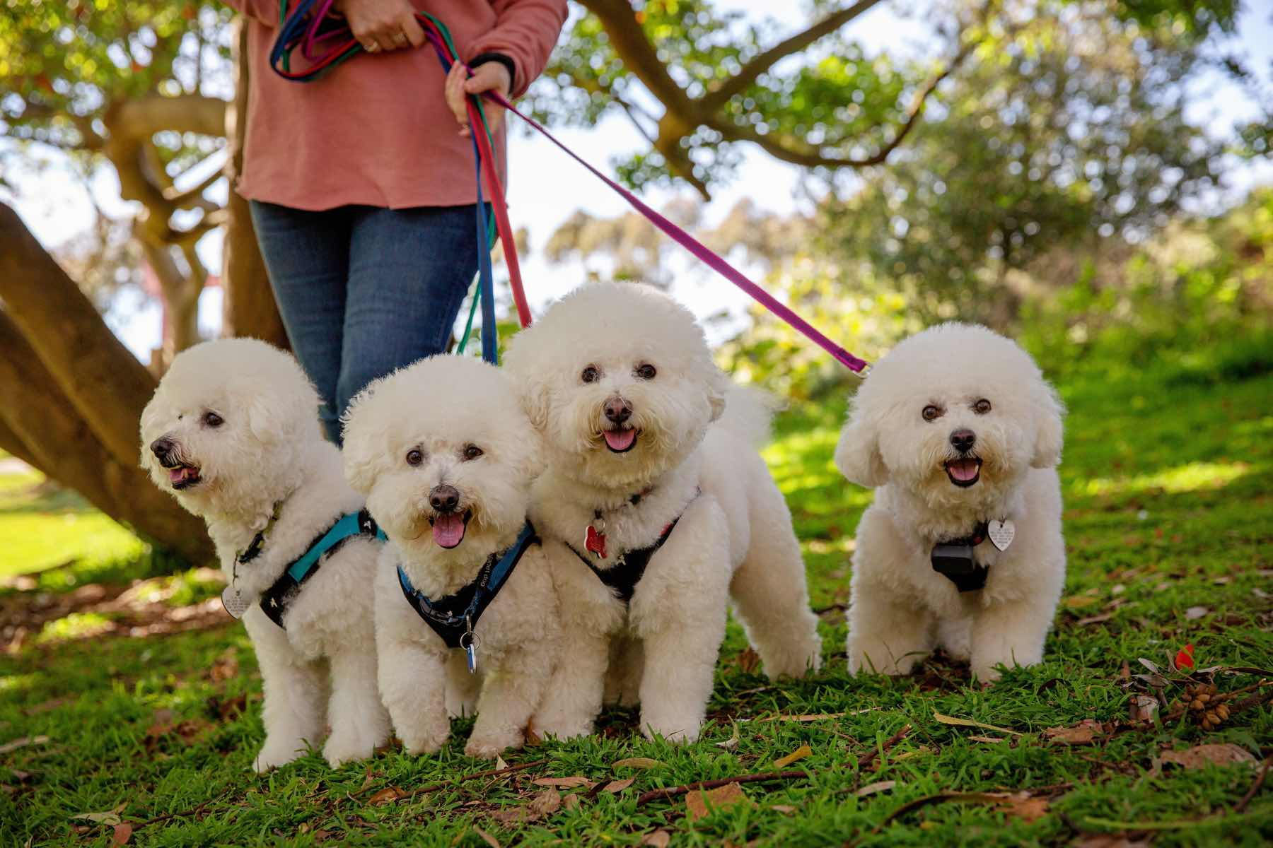 small dogs being walked with ruffgrip leashes