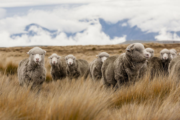 Introducing LYB's Merino range