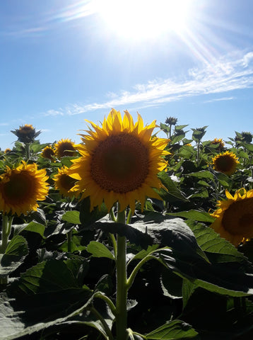 sunflowers of northern california