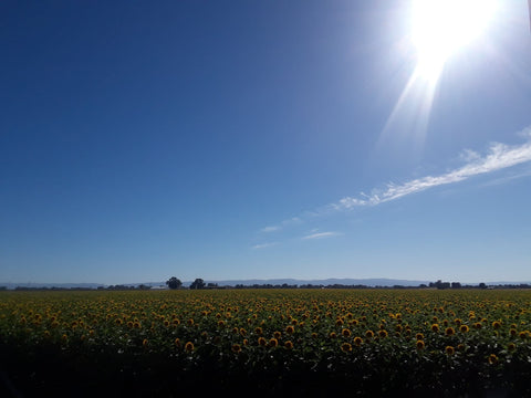 sunflower fields northern california