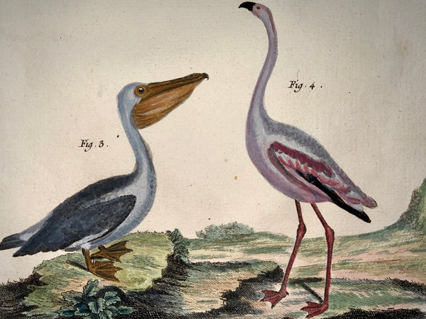 1780 Martinet - PELICAN FLAMINGO OSTRICH - hand coloured 38 cm engraving - Ornithology