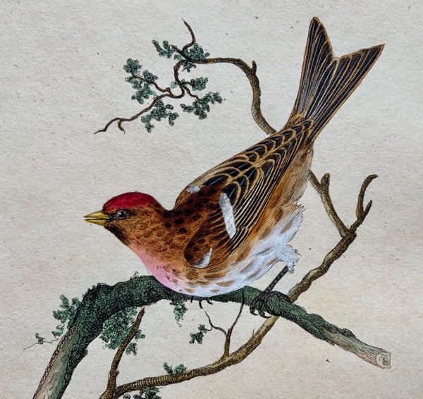 1794 Edward Donovan - LESSER LINNET Ornithology - exquisite hand coloured copper engraving