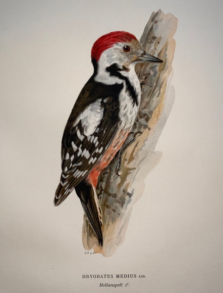 1918 Von Wright - DRYOBATES MEDIUS Spotted Woodpecker - Large Lithograph - Ornithology